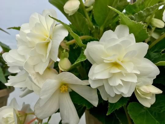 Illumination Begonia in White