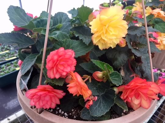 Illumination Begonia