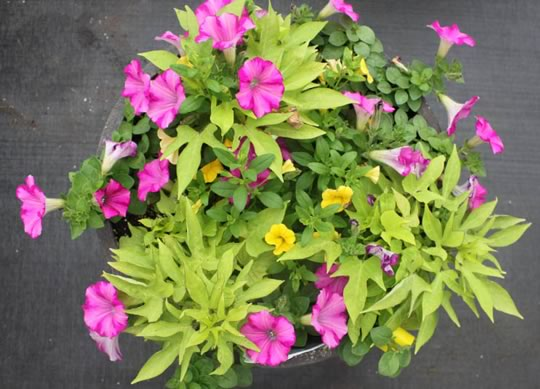 Light Green with Pink Petunias