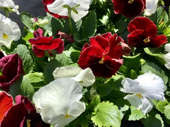 White and Red Pansies