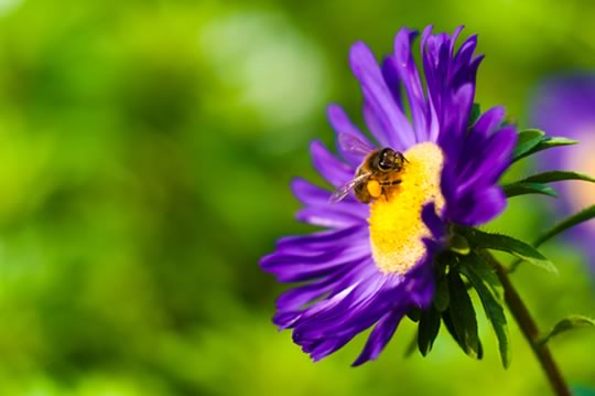 How to attact bees to your garden