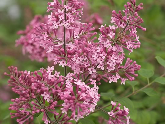 Reblooming Lilacs