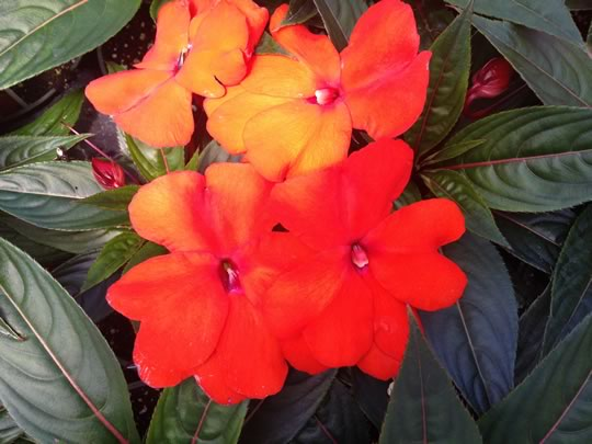 New Guinea Impatiens Orange