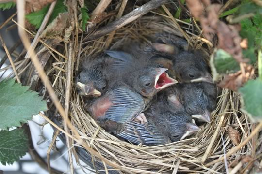 House Sparrow Babies
