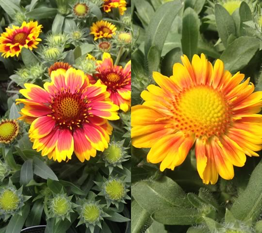 Gaillardia varieties – Arizona Sun and Arizona Apricot