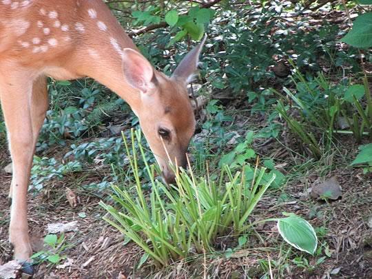 Deer Eating Hostas